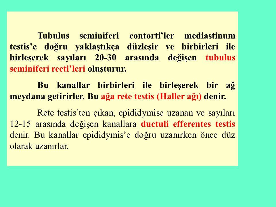 Tubulus seminiferi contorti'ler mediastinum testis'e doğru yaklaştıkça düzleşir ve birbirleri ile birleşerek sayıları 20-30 arasında değişen tubulus s
