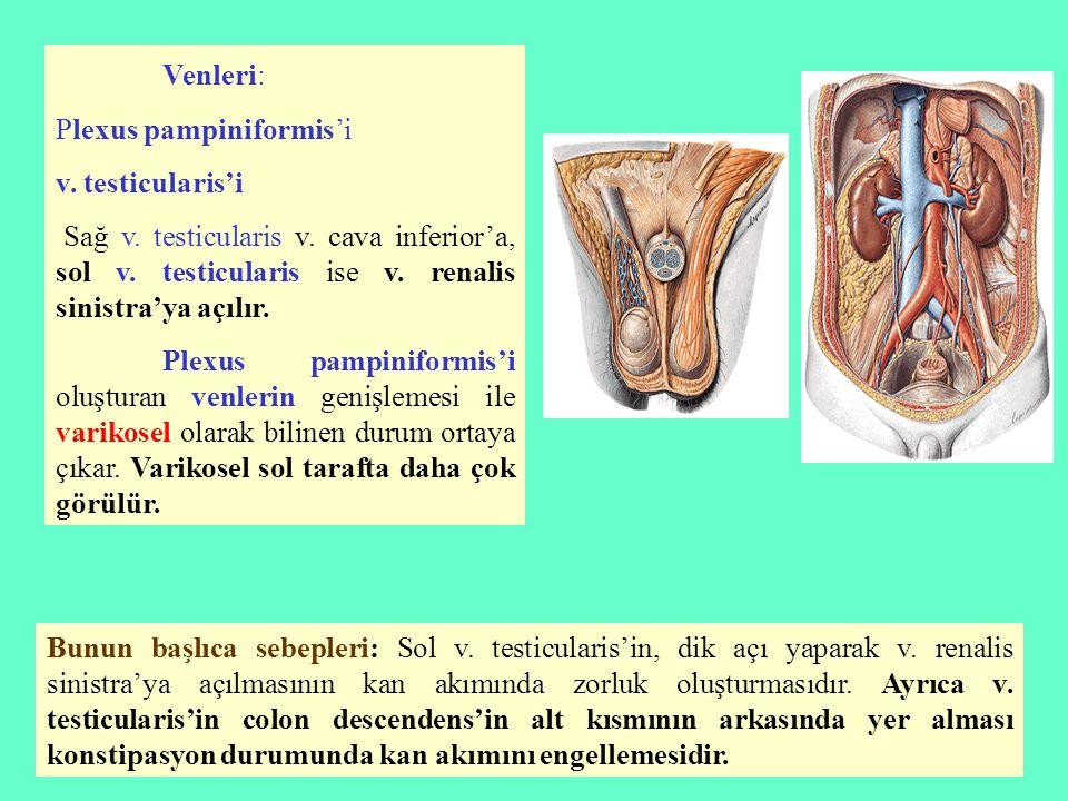 Venleri: Plexus pampiniformis'i v. testicularis'i Sağ v. testicularis v. cava inferior'a, sol v. testicularis ise v. renalis sinistra'ya açılır. Plexu