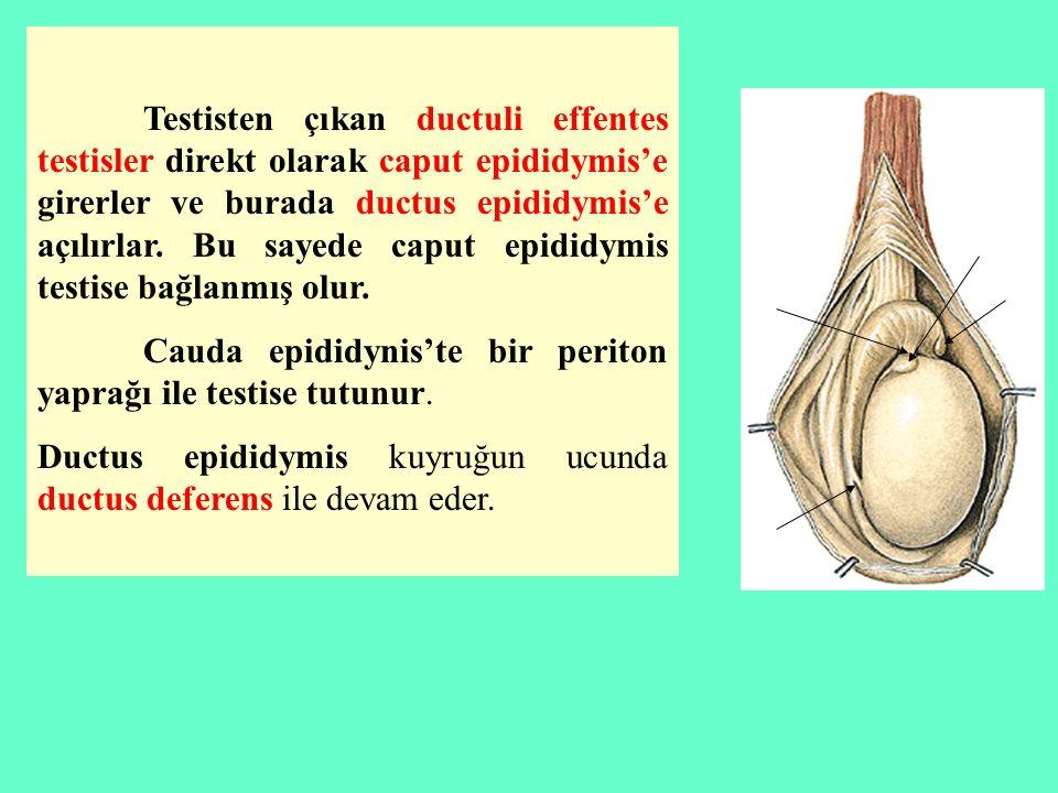 Testisten çıkan ductuli effentes testisler direkt olarak caput epididymis'e girerler ve burada ductus epididymis'e açılırlar. Bu sayede caput epididym