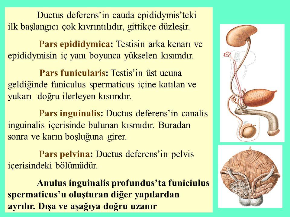 Ductus deferens'in cauda epididymis'teki ilk başlangıcı çok kıvrıntılıdır, gittikçe düzleşir. Pars epididymica: Testisin arka kenarı ve epididymisin i