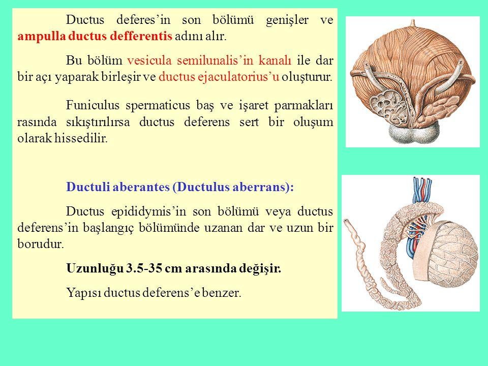 Ductus deferes'in son bölümü genişler ve ampulla ductus defferentis adını alır. Bu bölüm vesicula semilunalis'in kanalı ile dar bir açı yaparak birleş
