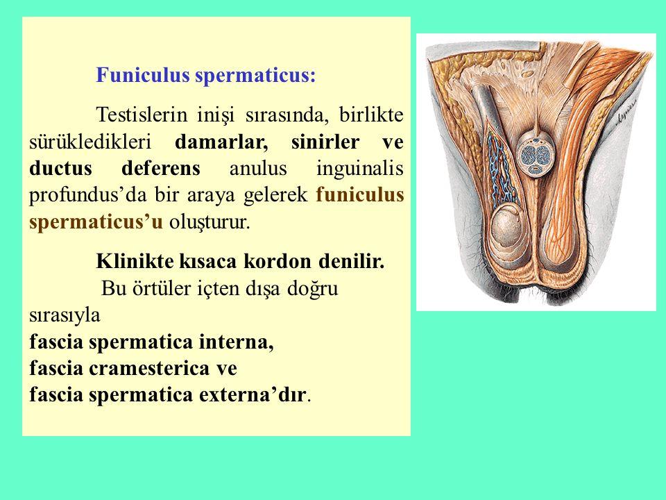 Funiculus spermaticus: Testislerin inişi sırasında, birlikte sürükledikleri damarlar, sinirler ve ductus deferens anulus inguinalis profundus'da bir a