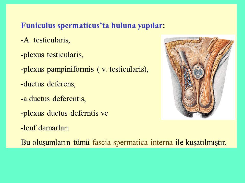 Funiculus spermaticus'ta buluna yapılar: -A. testicularis, -plexus testicularis, -plexus pampiniformis ( v. testicularis), -ductus deferens, -a.ductus