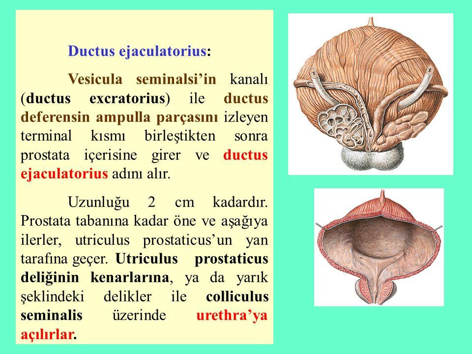Ductus ejaculatorius: Vesicula seminalsi'in kanalı (ductus excratorius) ile ductus deferensin ampulla parçasını izleyen terminal kısmı birleştikten so