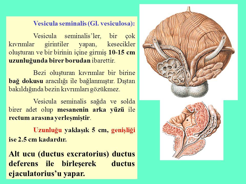 Vesicula seminalis (Gl. vesiculosa): Vesicula seminalis'ler, bir çok kıvrımlar girintiler yapan, kesecikler oluşturan ve bir birinin içine girmiş 10-1