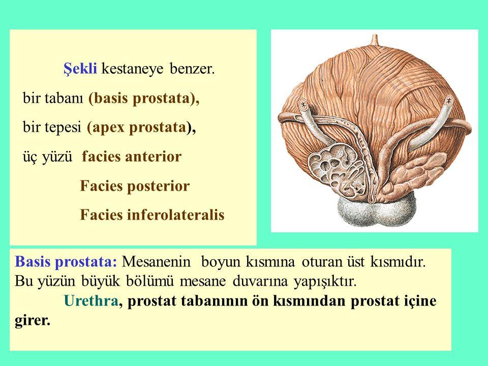 Şekli kestaneye benzer. bir tabanı (basis prostata), bir tepesi (apex prostata), üç yüzü facies anterior Facies posterior Facies inferolateralis Basis