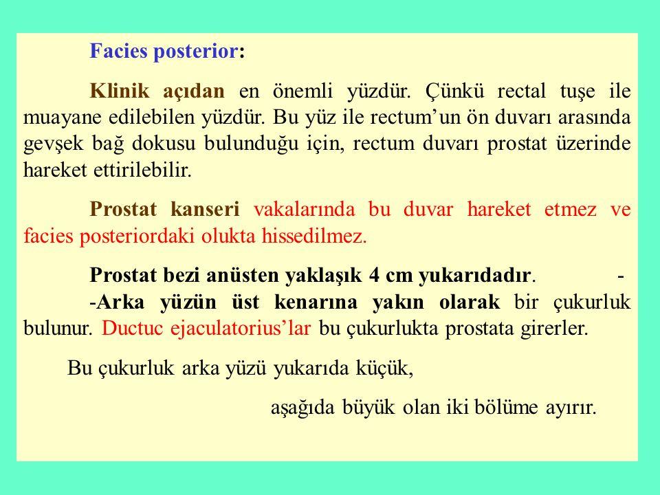 Facies posterior: Klinik açıdan en önemli yüzdür. Çünkü rectal tuşe ile muayane edilebilen yüzdür. Bu yüz ile rectum'un ön duvarı arasında gevşek bağ