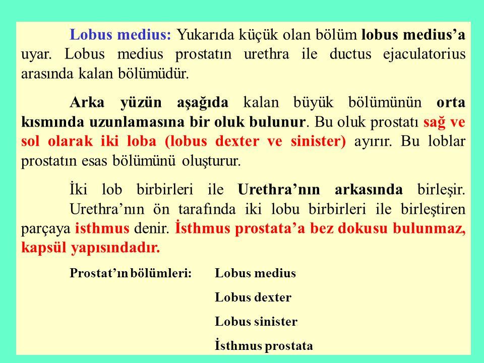 Lobus medius: Yukarıda küçük olan bölüm lobus medius'a uyar. Lobus medius prostatın urethra ile ductus ejaculatorius arasında kalan bölümüdür. Arka yü