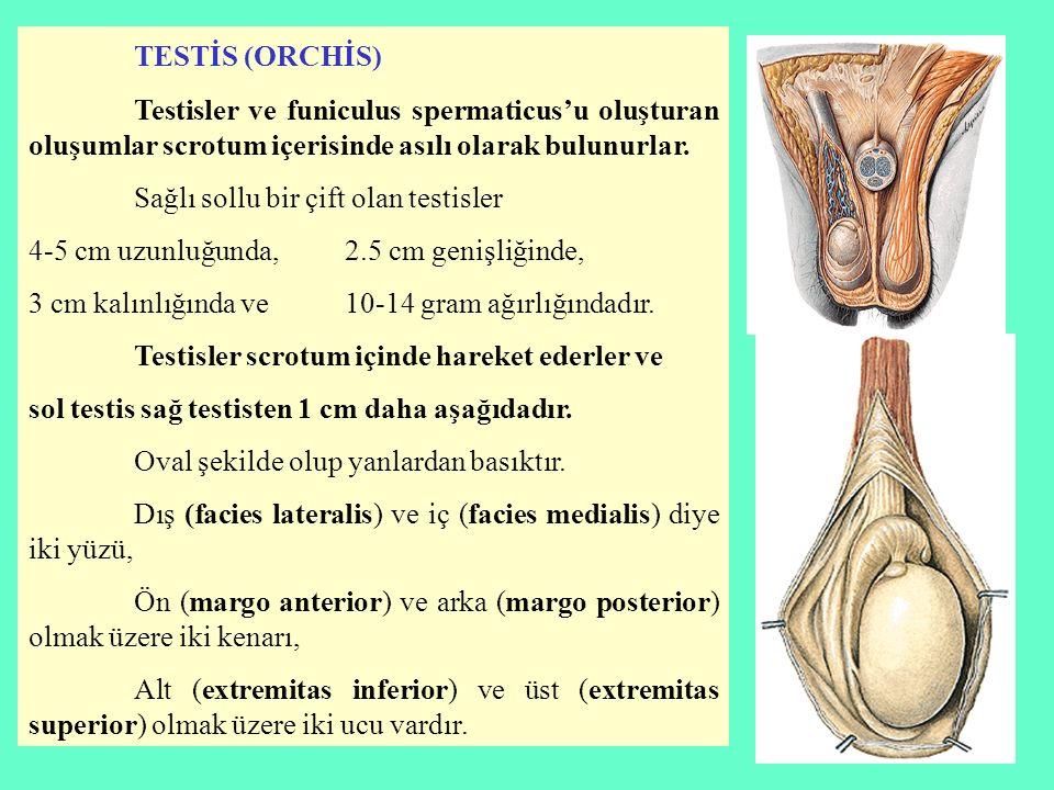 TESTİS (ORCHİS) Testisler ve funiculus spermaticus'u oluşturan oluşumlar scrotum içerisinde asılı olarak bulunurlar. Sağlı sollu bir çift olan testisl