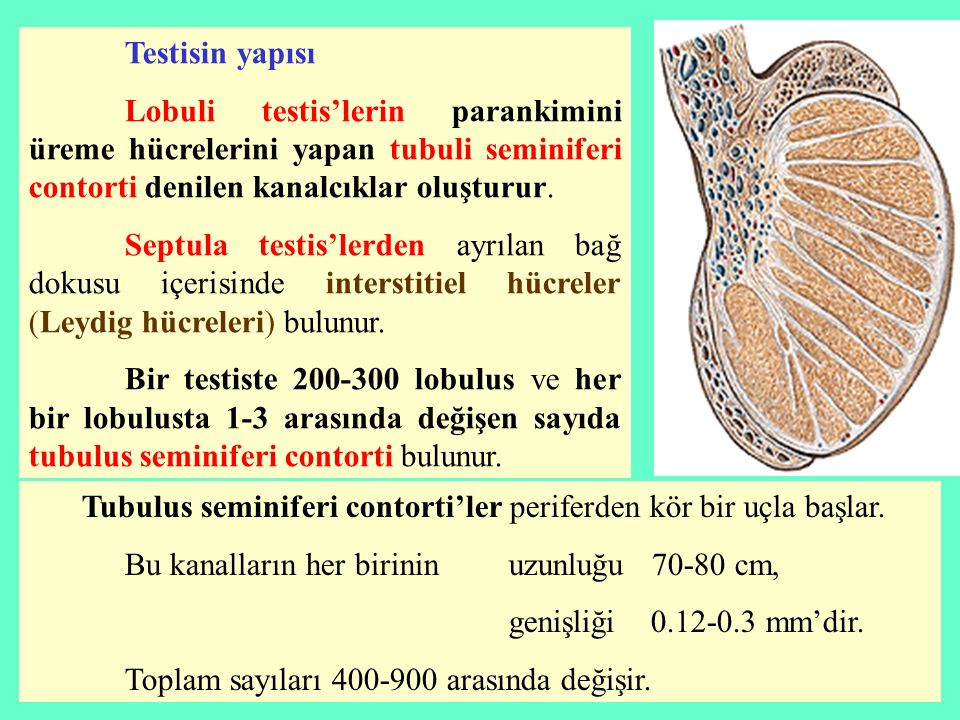 Testisin yapısı Lobuli testis'lerin parankimini üreme hücrelerini yapan tubuli seminiferi contorti denilen kanalcıklar oluşturur. Septula testis'lerde