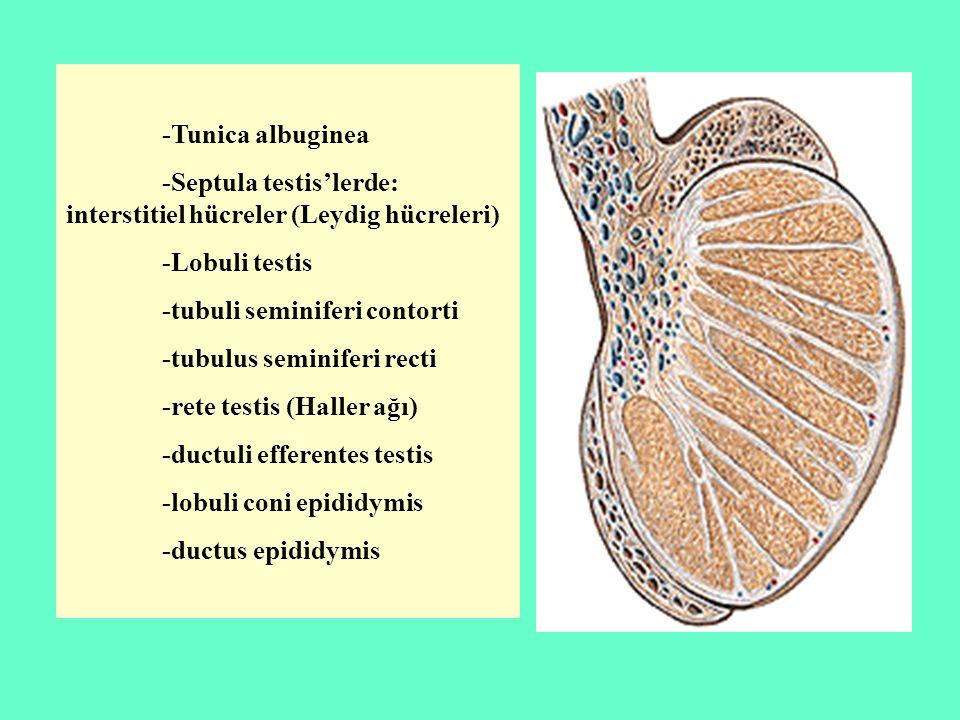 -Tunica albuginea -Septula testis'lerde: interstitiel hücreler (Leydig hücreleri) -Lobuli testis -tubuli seminiferi contorti -tubulus seminiferi recti