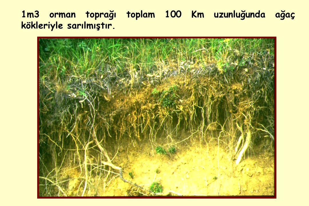 1m3 orman toprağı toplam 100 Km uzunluğunda ağaç kökleriyle sarılmıştır.