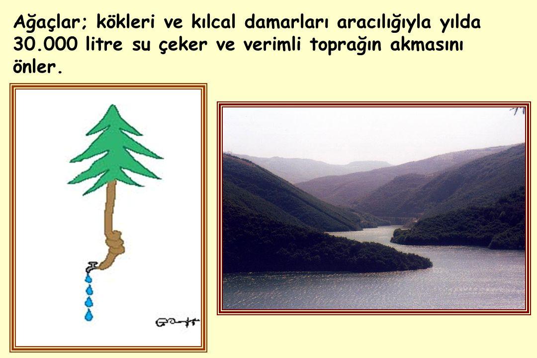 Ağaçlar; kökleri ve kılcal damarları aracılığıyla yılda 30.000 litre su çeker ve verimli toprağın akmasını önler.