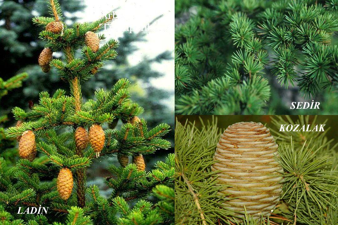 Ormanlarımız, yapraklı ve iğne yapraklı ağaçlardan oluşur. LADİN SEDİR KOZALAK