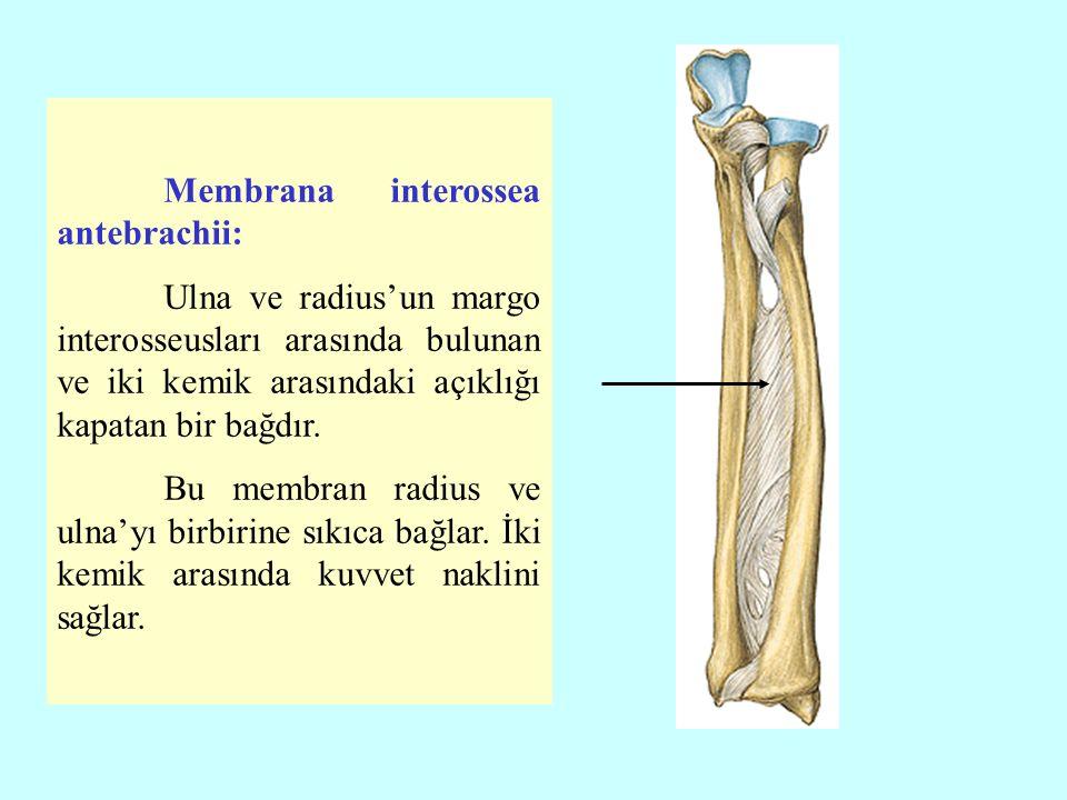 Membrana interossea antebrachii: Ulna ve radius'un margo interosseusları arasında bulunan ve iki kemik arasındaki açıklığı kapatan bir bağdır.