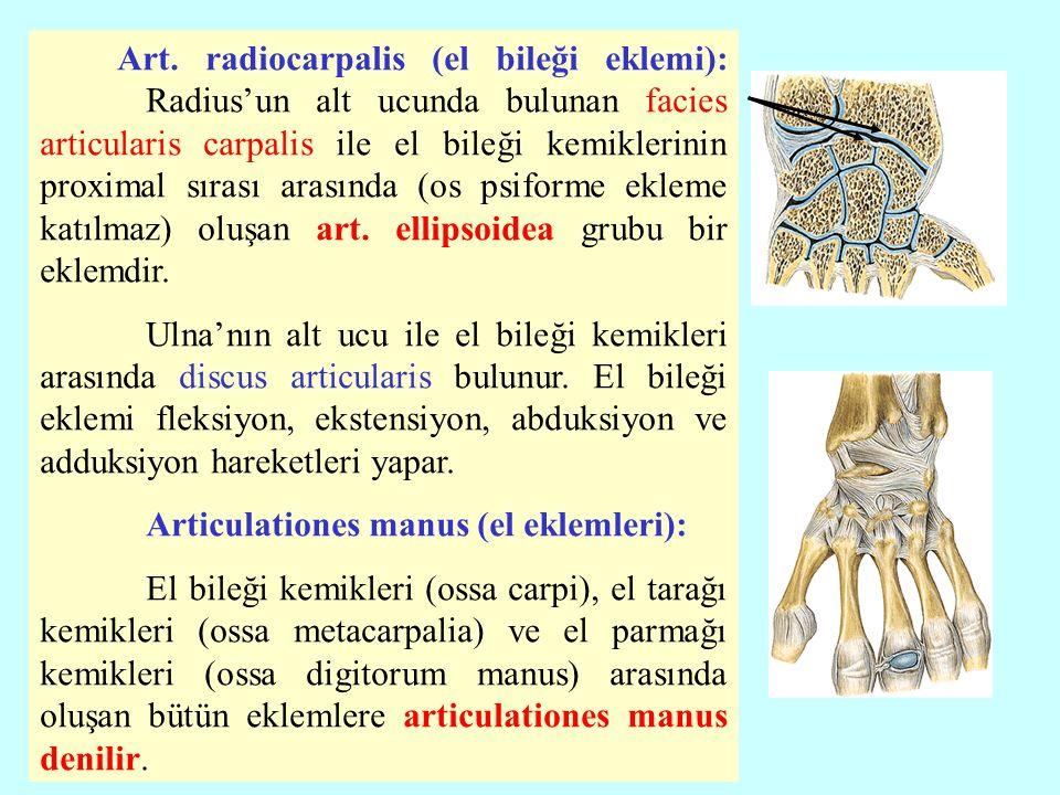 Art. radiocarpalis (el bileği eklemi): Radius'un alt ucunda bulunan facies articularis carpalis ile el bileği kemiklerinin proximal sırası arasında (o