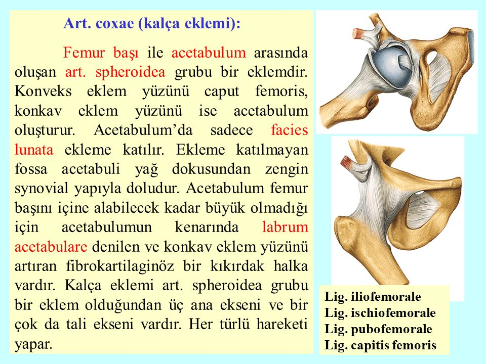 Art.coxae (kalça eklemi): Femur başı ile acetabulum arasında oluşan art.