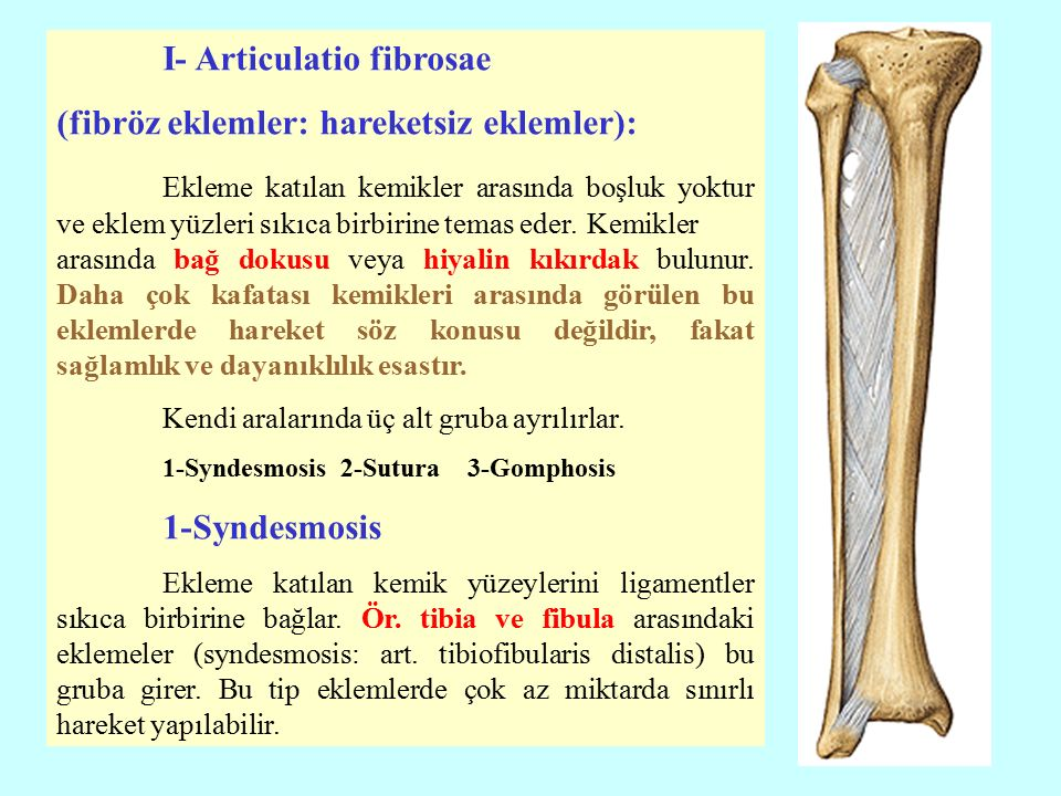 I- Articulatio fibrosae (fibröz eklemler: hareketsiz eklemler): Ekleme katılan kemikler arasında boşluk yoktur ve eklem yüzleri sıkıca birbirine temas eder.