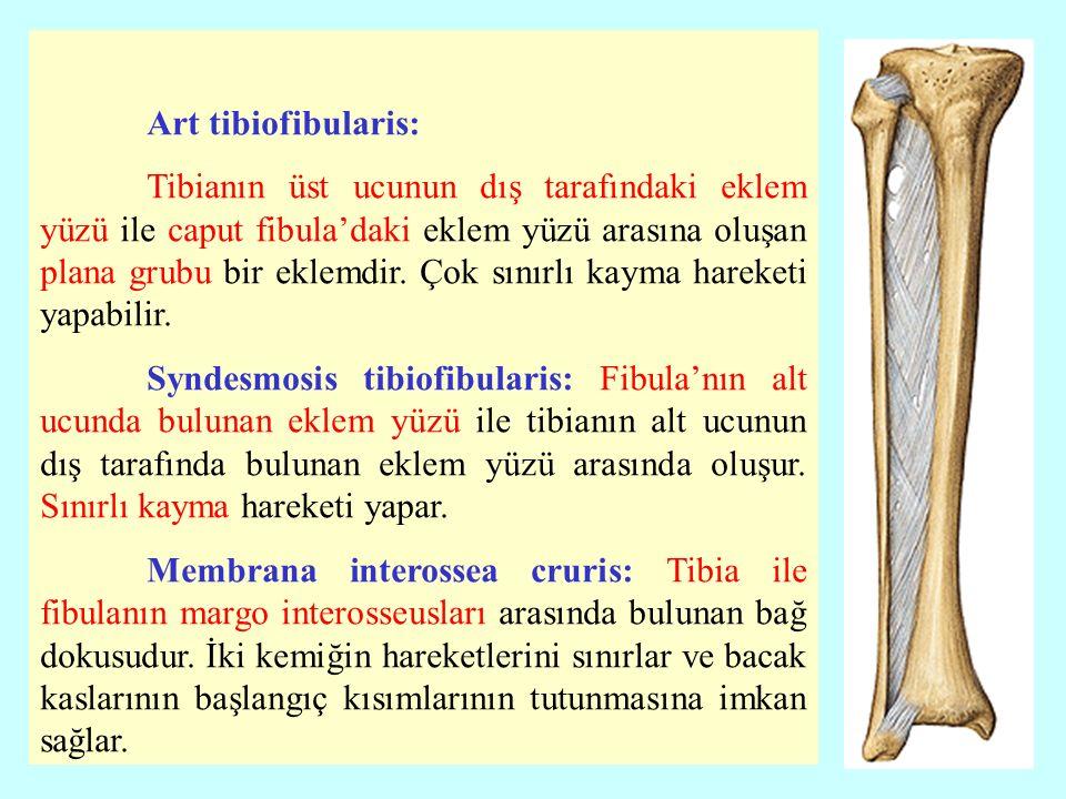 Art tibiofibularis: Tibianın üst ucunun dış tarafındaki eklem yüzü ile caput fibula'daki eklem yüzü arasına oluşan plana grubu bir eklemdir.
