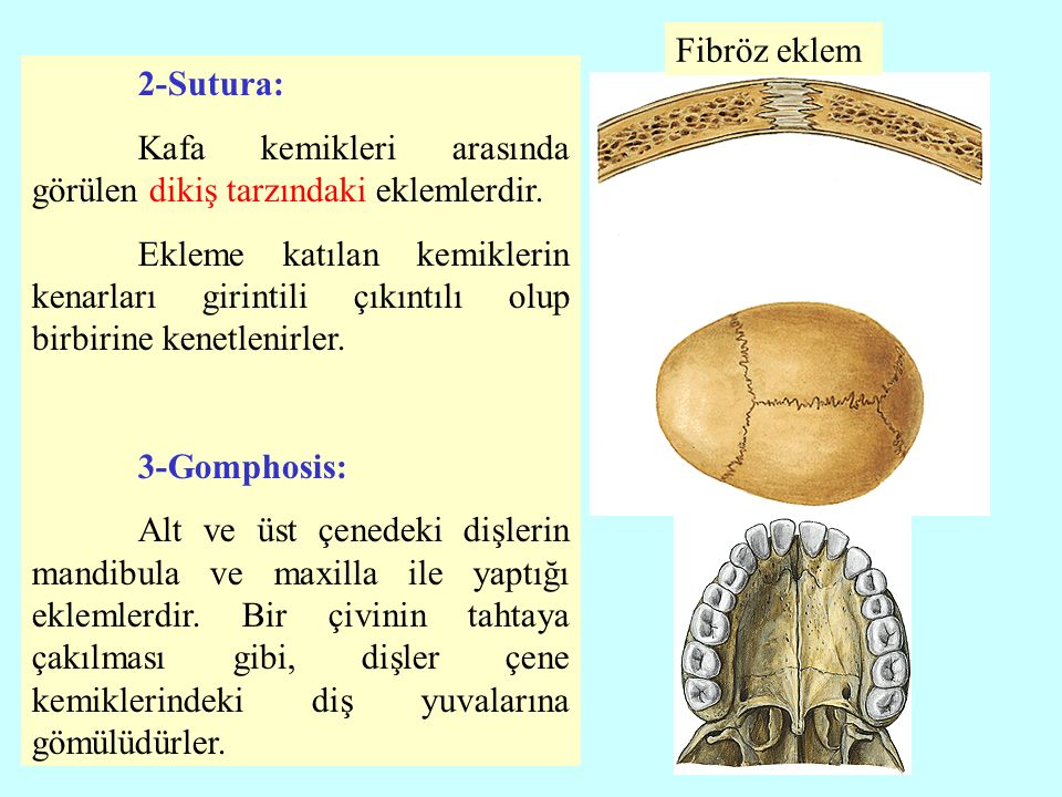 2-Sutura: Kafa kemikleri arasında görülen dikiş tarzındaki eklemlerdir.