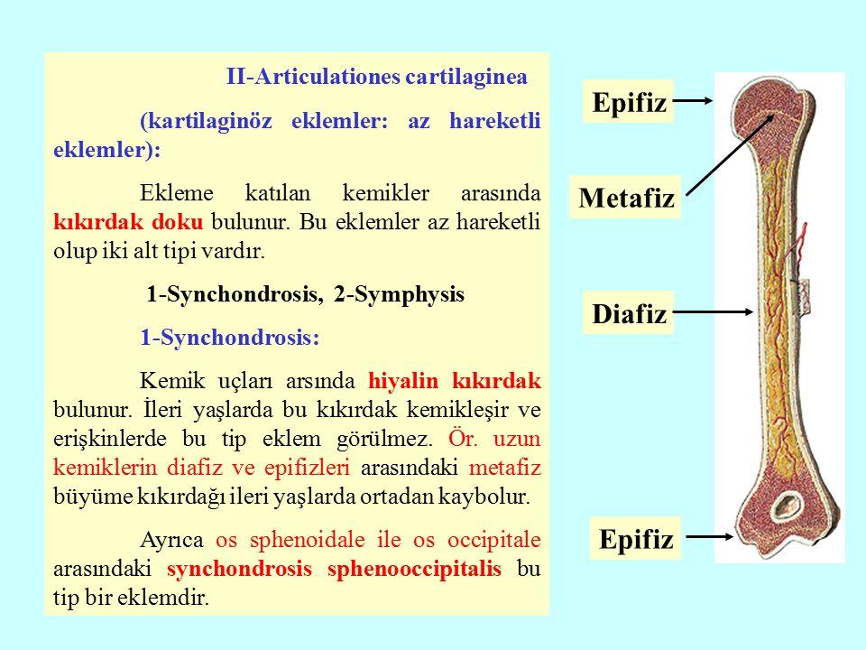2-Symphysis: Bu ekleme katılan kemikler arasında yassı ve geniş bir kıkırdak bulunur.