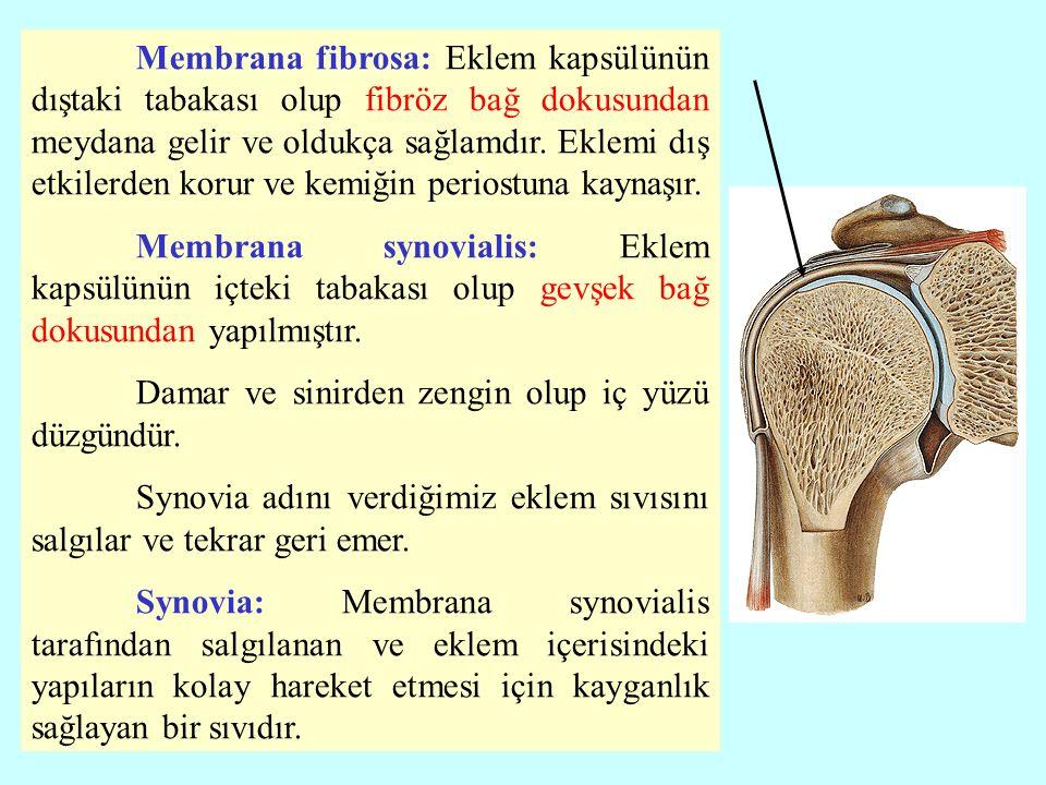 c)Eklem boşluğu (cavitas articularis): Eklem kapsülünün içinde ve ekleme katılan yüzeyler arasındaki kılcal bir boşluktur.