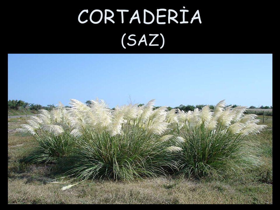 CORTADERİA (SAZ)