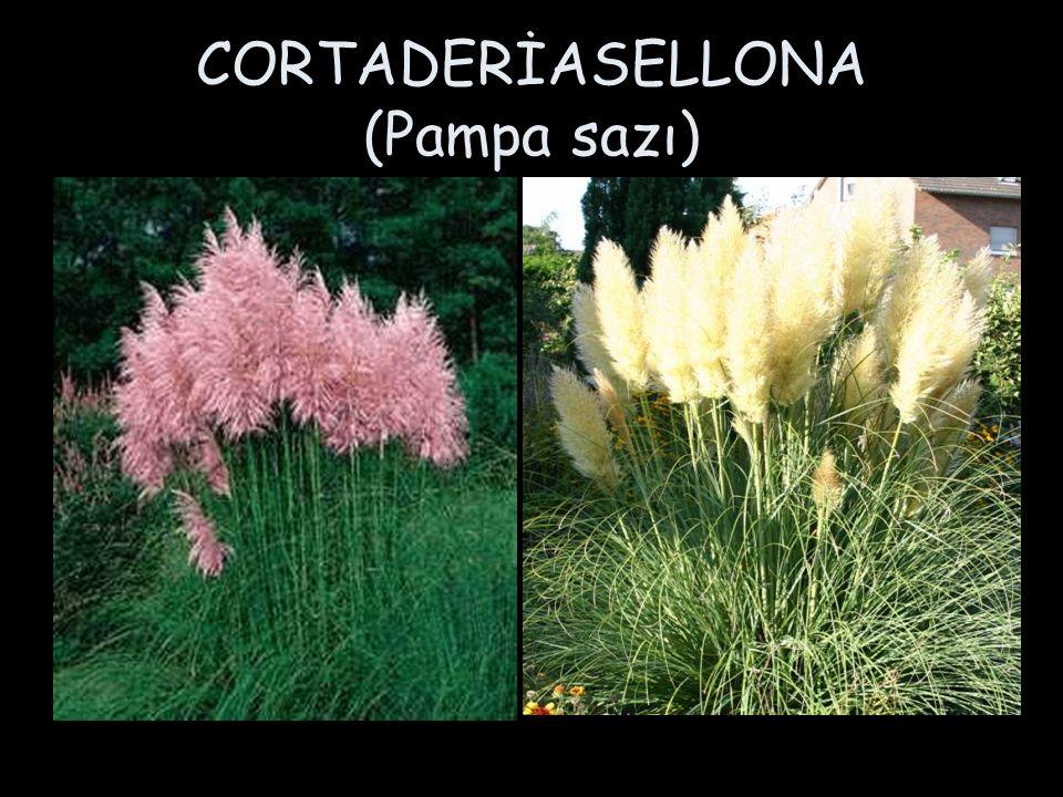 CORTADERİASELLONA (Pampa sazı)