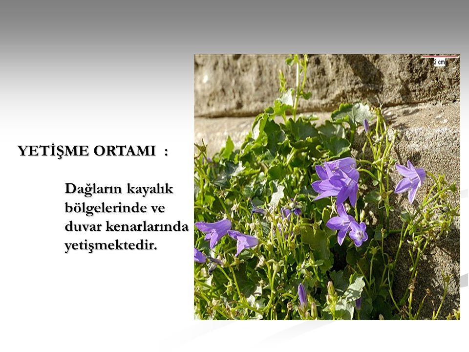 YETİŞME ORTAMI : Dağların kayalık bölgelerinde ve duvar kenarlarında yetişmektedir.