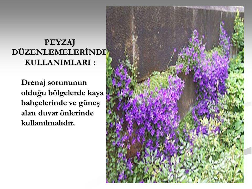 PEYZAJ DÜZENLEMELERİNDE KULLANIMLARI : Drenaj sorununun olduğu bölgelerde kaya bahçelerinde ve güneş alan duvar önlerinde kullanılmalıdır.
