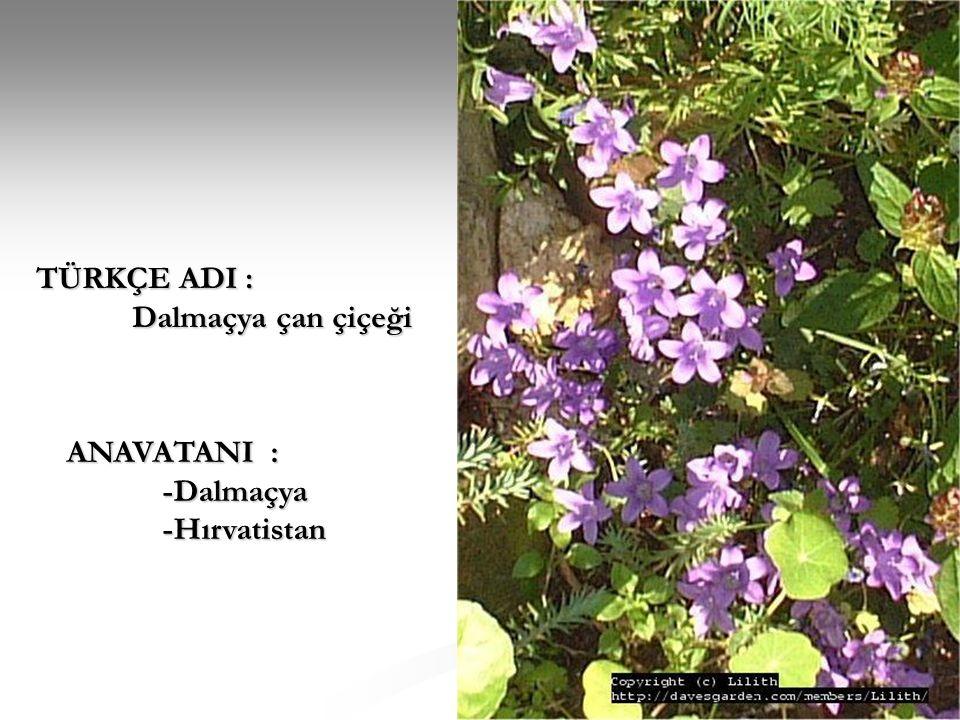 TÜRKÇE ADI : Dalmaçya çan çiçeği ANAVATANI : -Dalmaçya -Hırvatistan