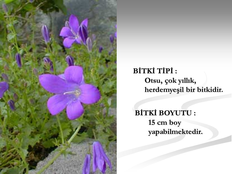 BİTKİ TİPİ : Otsu, çok yıllık, herdemyeşil bir bitkidir. BİTKİ BOYUTU : 15 cm boy yapabilmektedir.
