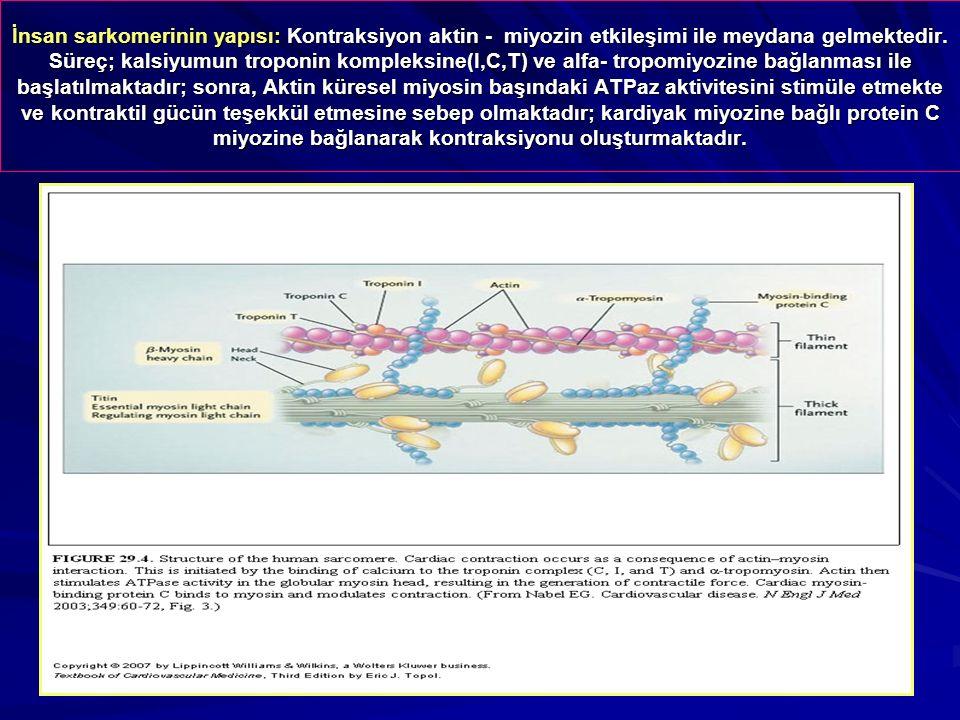 İnsan sarkomerinin yapısı: Kontraksiyon aktin - miyozin etkileşimi ile meydana gelmektedir. Süreç; kalsiyumun troponin kompleksine(I,C,T) ve alfa- tro