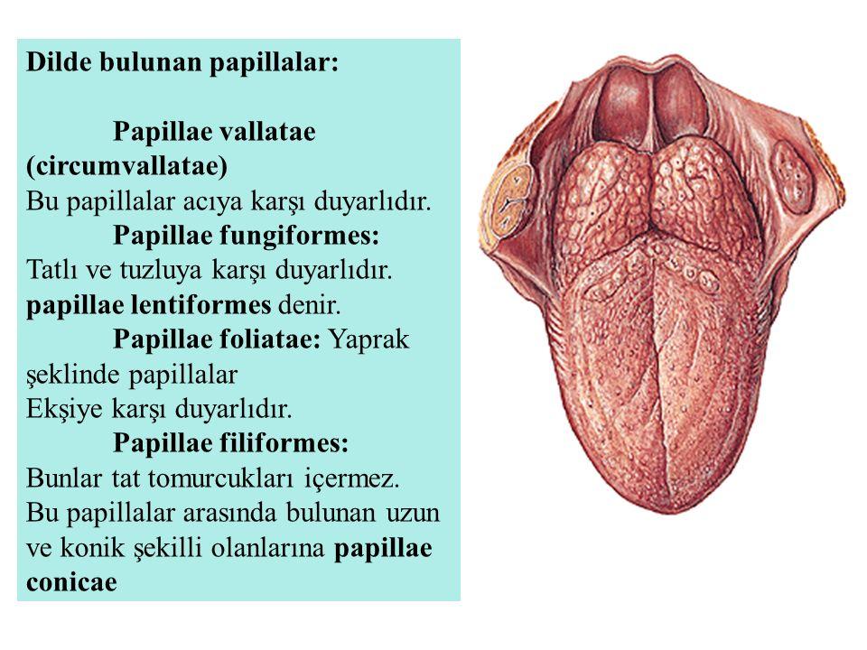 Dilde bulunan papillalar: Papillae vallatae (circumvallatae) Bu papillalar acıya karşı duyarlıdır. Papillae fungiformes: Tatlı ve tuzluya karşı duyarl