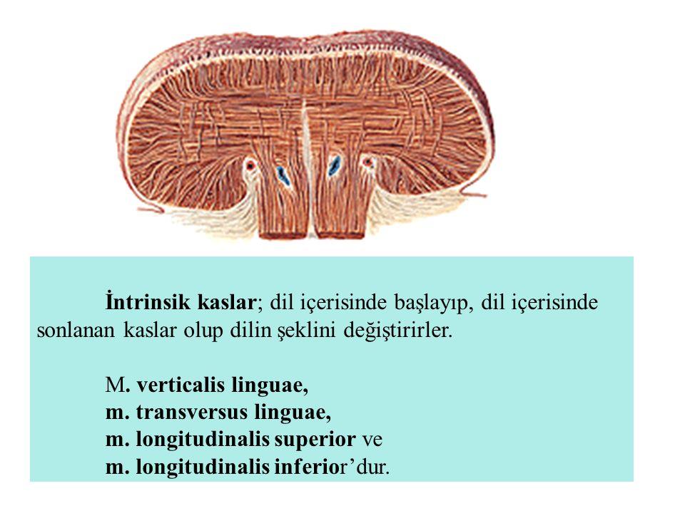 İntrinsik kaslar; dil içerisinde başlayıp, dil içerisinde sonlanan kaslar olup dilin şeklini değiştirirler. M. verticalis linguae, m. transversus ling