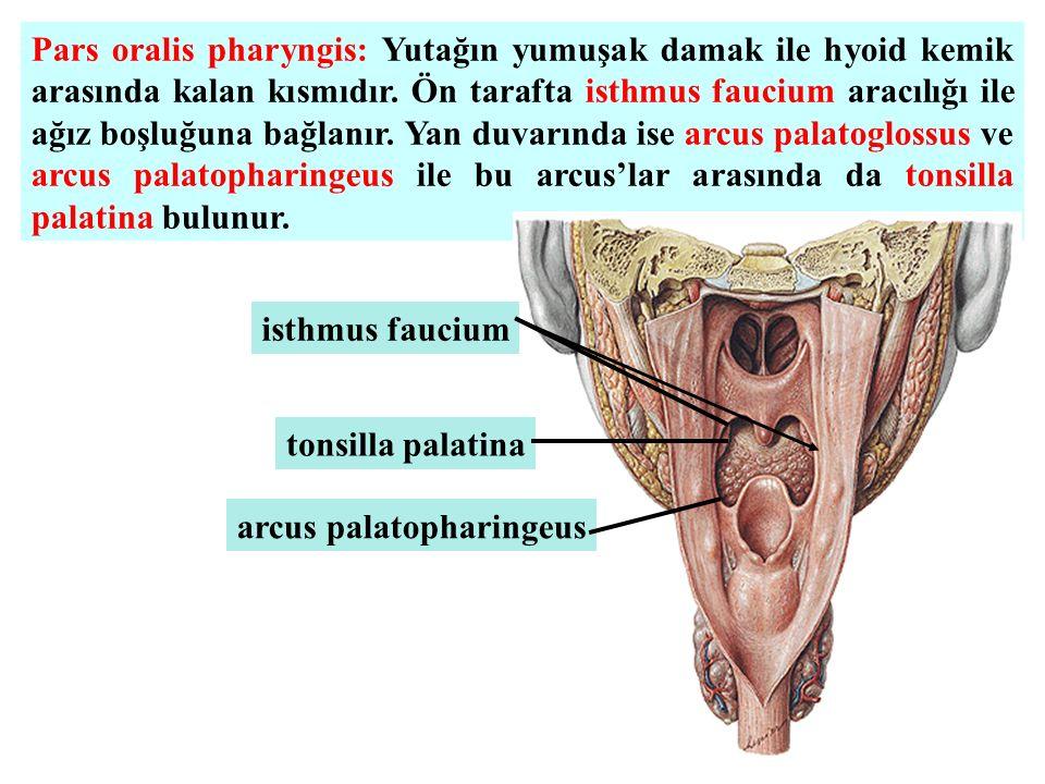 Pars oralis pharyngis: Yutağın yumuşak damak ile hyoid kemik arasında kalan kısmıdır. Ön tarafta isthmus faucium aracılığı ile ağız boşluğuna bağlanır