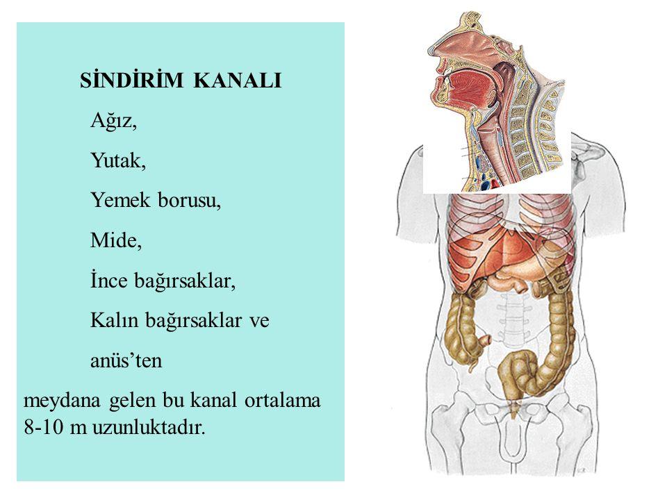 3-Corpus gastricum: Inc.cardiaca'dan geçen yatay düzlem ile inc.