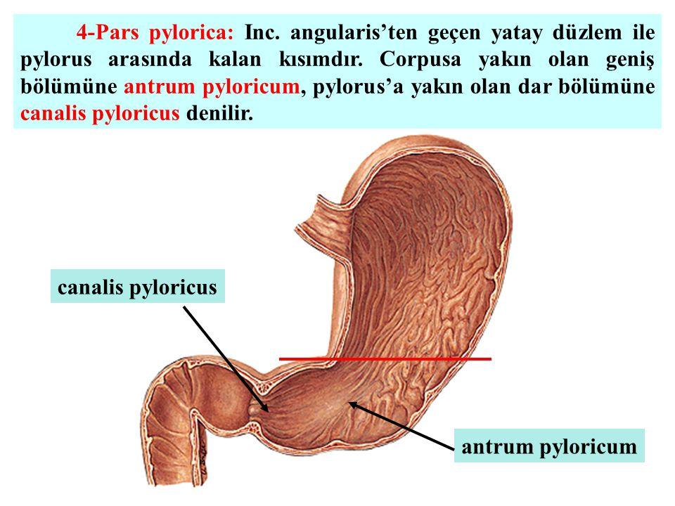 4-Pars pylorica: Inc. angularis'ten geçen yatay düzlem ile pylorus arasında kalan kısımdır. Corpusa yakın olan geniş bölümüne antrum pyloricum, pyloru