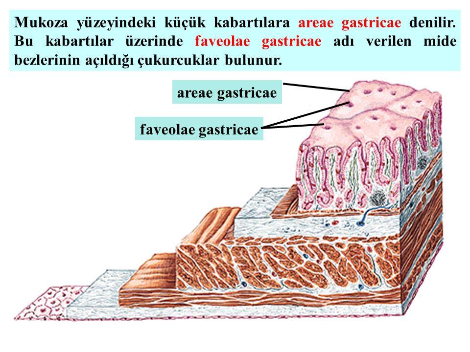 Mukoza yüzeyindeki küçük kabartılara areae gastricae denilir. Bu kabartılar üzerinde faveolae gastricae adı verilen mide bezlerinin açıldığı çukurcukl