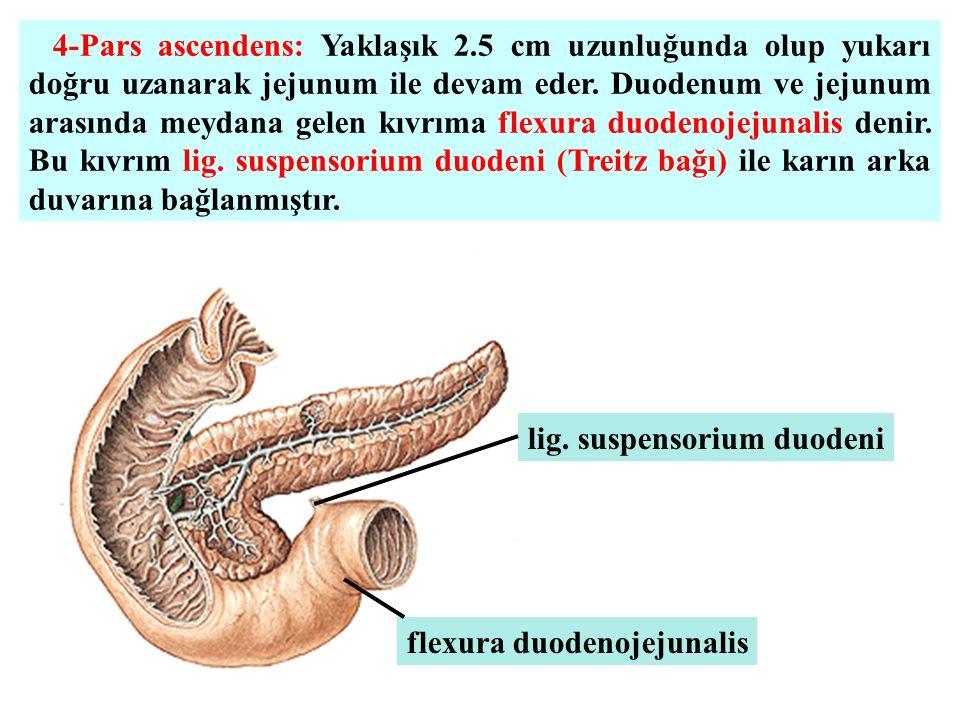 4-Pars ascendens: Yaklaşık 2.5 cm uzunluğunda olup yukarı doğru uzanarak jejunum ile devam eder. Duodenum ve jejunum arasında meydana gelen kıvrıma fl