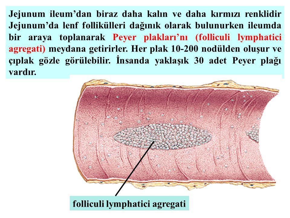 Jejunum ileum'dan biraz daha kalın ve daha kırmızı renklidir Jejunum'da lenf follikülleri dağınık olarak bulunurken ileumda bir araya toplanarak Peyer