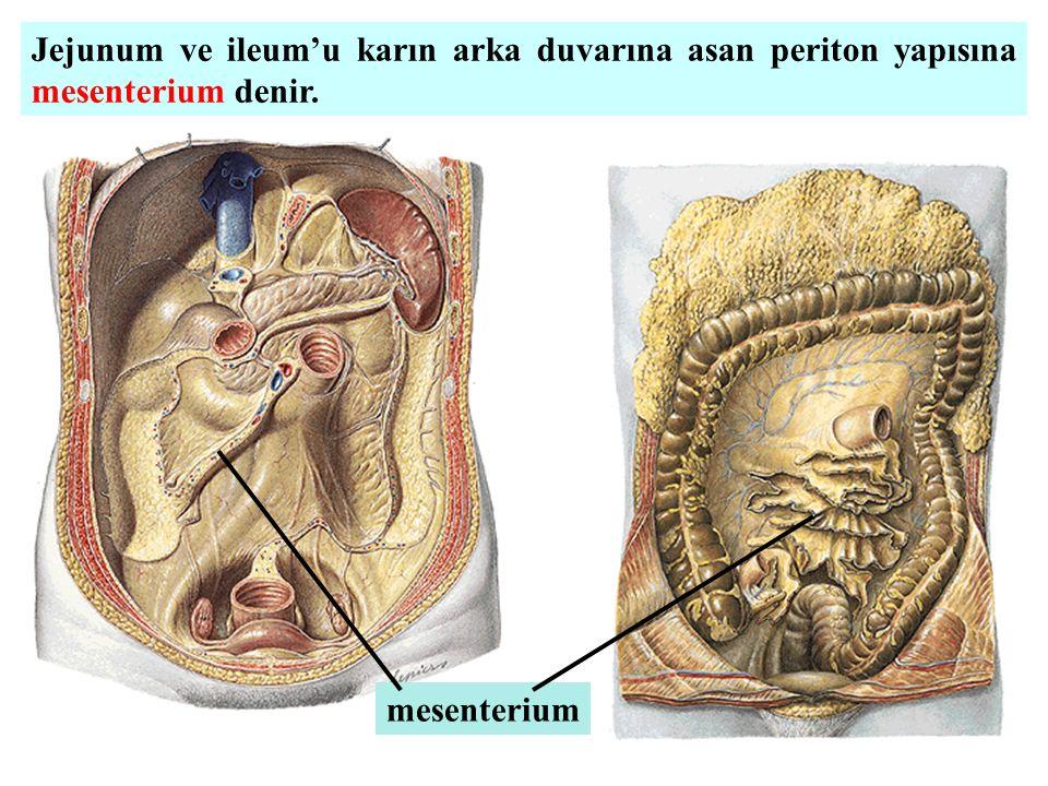 Jejunum ve ileum'u karın arka duvarına asan periton yapısına mesenterium denir. mesenterium