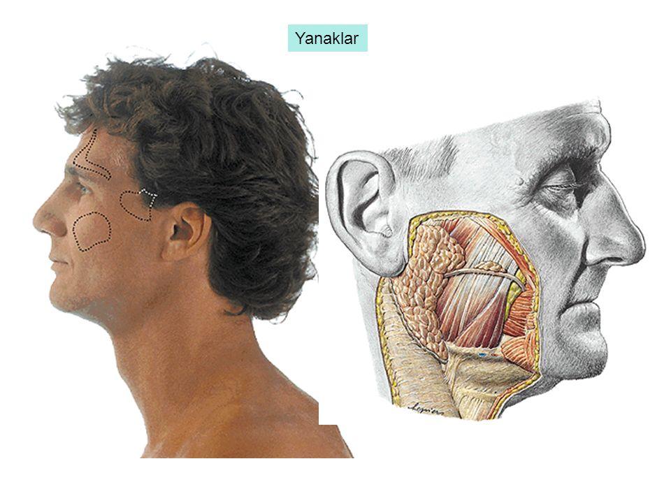 colon ascendens colon transversum colon descendens colon sigmoideum Colon: Kalın bağırsağın ceacum'dan sonra gelen ve rectum'a kadar uzanan bölümü olan colon; colon ascendens, colon transversum, colon descendens ve colon sigmoideum olarak 4 kısma ayrılır.