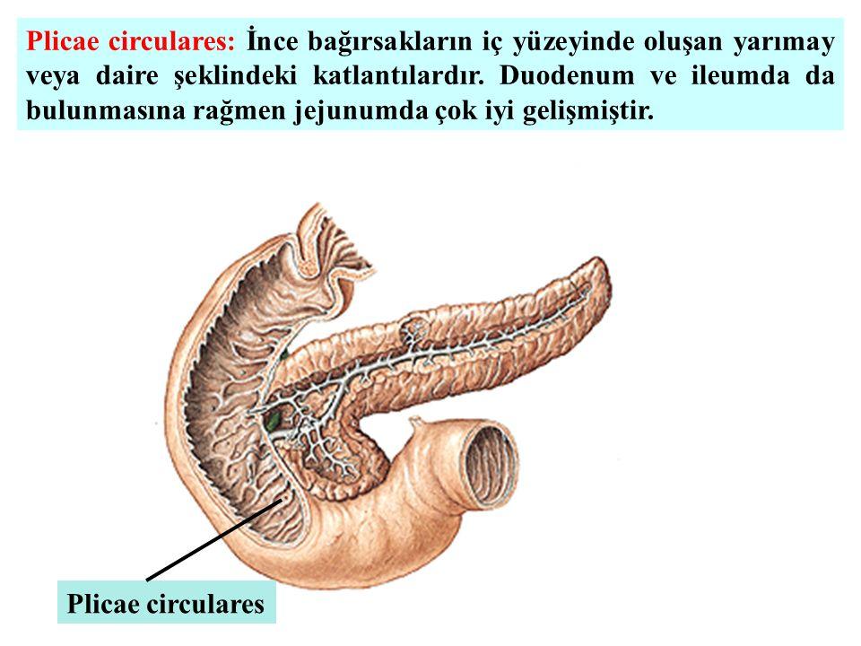 Plicae circulares: İnce bağırsakların iç yüzeyinde oluşan yarımay veya daire şeklindeki katlantılardır. Duodenum ve ileumda da bulunmasına rağmen jeju