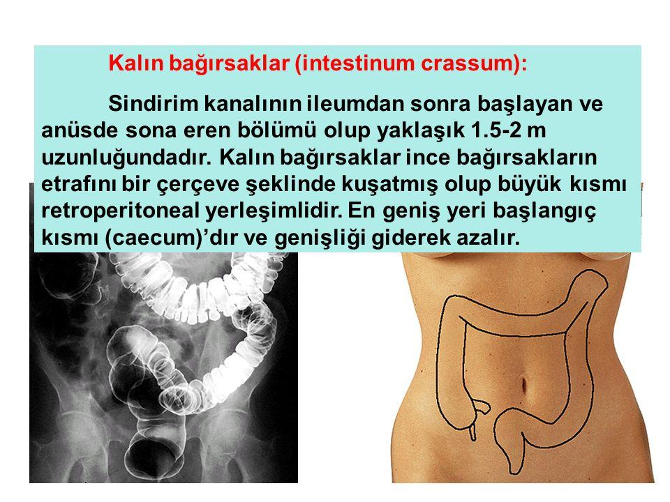 Kalın bağırsaklar (intestinum crassum): Sindirim kanalının ileumdan sonra başlayan ve anüsde sona eren bölümü olup yaklaşık 1.5-2 m uzunluğundadır. Ka
