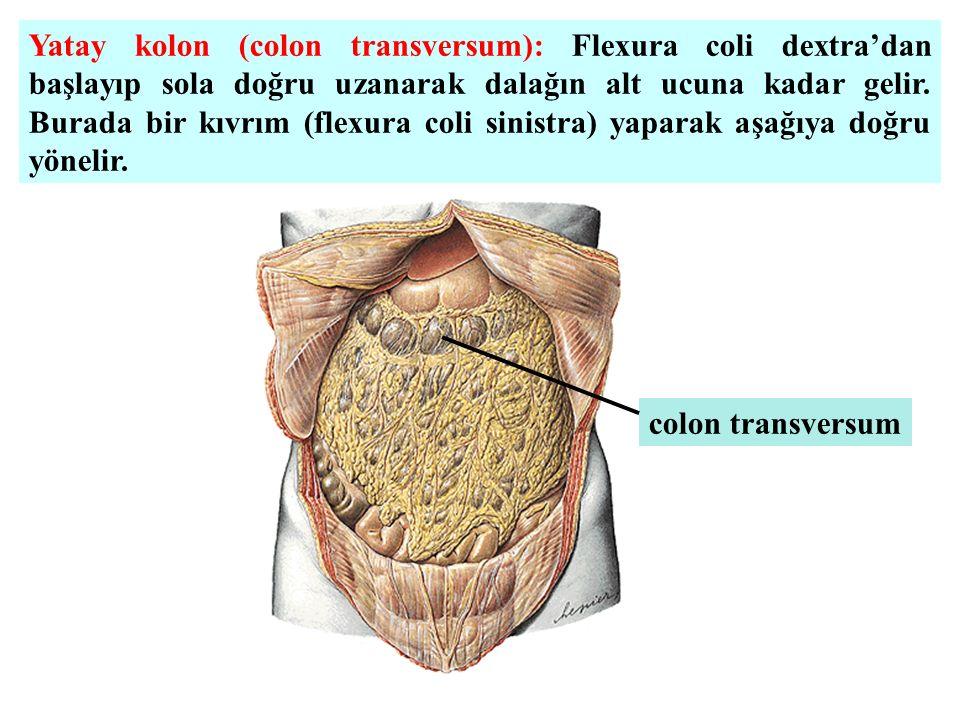 Yatay kolon (colon transversum): Flexura coli dextra'dan başlayıp sola doğru uzanarak dalağın alt ucuna kadar gelir. Burada bir kıvrım (flexura coli s