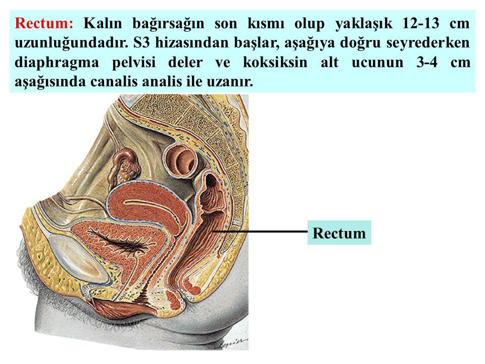 Rectum: Kalın bağırsağın son kısmı olup yaklaşık 12-13 cm uzunluğundadır. S3 hizasından başlar, aşağıya doğru seyrederken diaphragma pelvisi deler ve