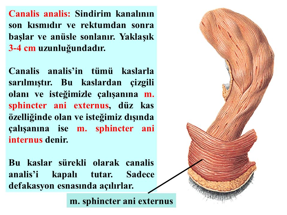 Canalis analis: Sindirim kanalının son kısmıdır ve rektumdan sonra başlar ve anüsle sonlanır. Yaklaşık 3-4 cm uzunluğundadır. Canalis analis'in tümü k