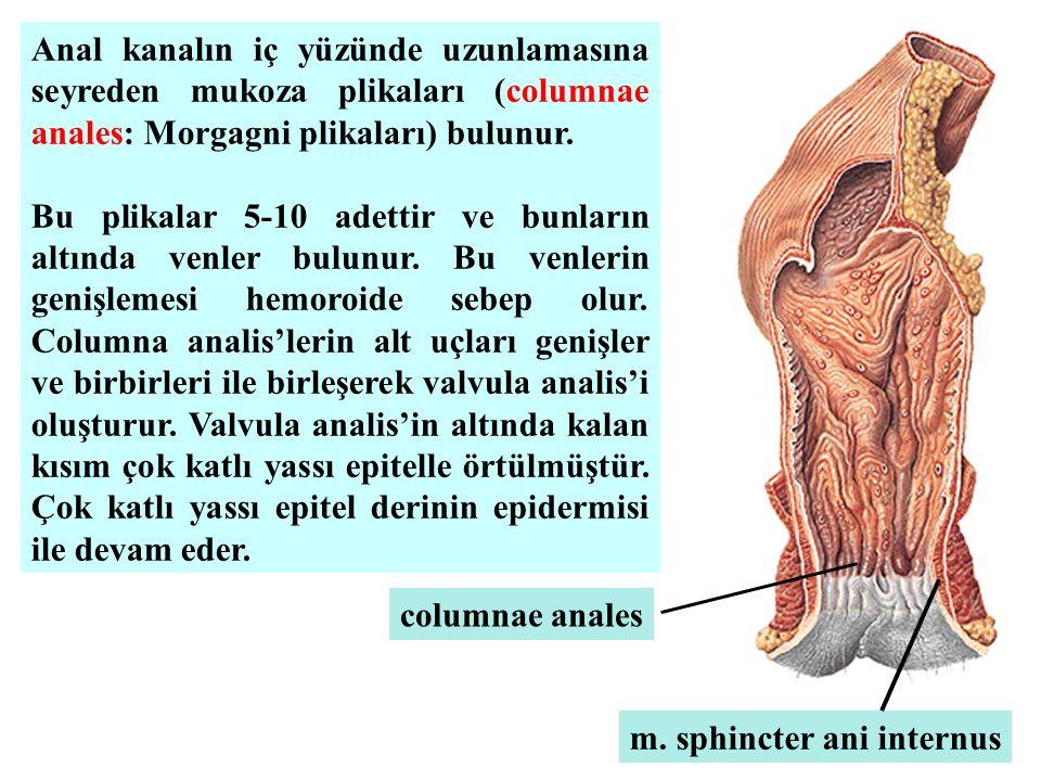 Anal kanalın iç yüzünde uzunlamasına seyreden mukoza plikaları (columnae anales: Morgagni plikaları) bulunur. Bu plikalar 5-10 adettir ve bunların alt
