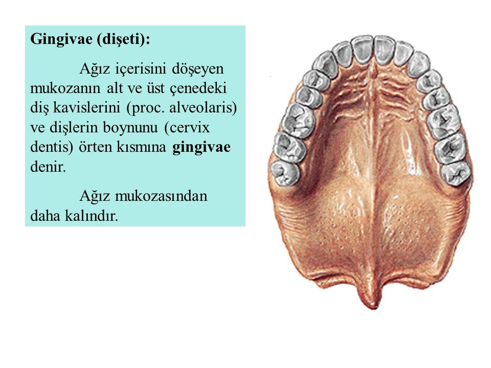 Gingivae (dişeti): Ağız içerisini döşeyen mukozanın alt ve üst çenedeki diş kavislerini (proc. alveolaris) ve dişlerin boynunu (cervix dentis) örten k